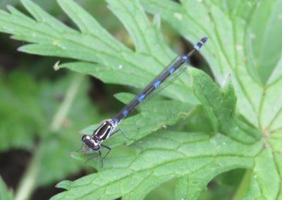 De Drie Wedden - Libelle