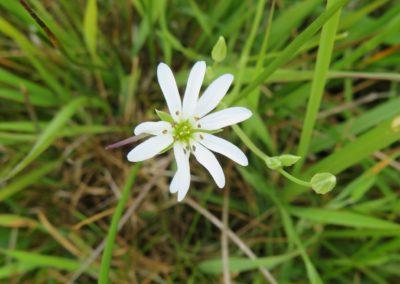 De Drie Wedden - Witte bloem